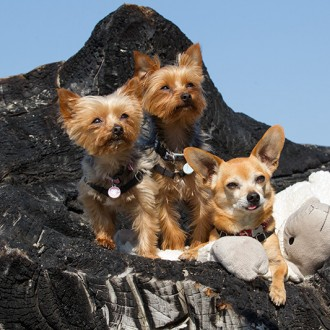Two yorkies and a chihuahua at the Oregon coast beach