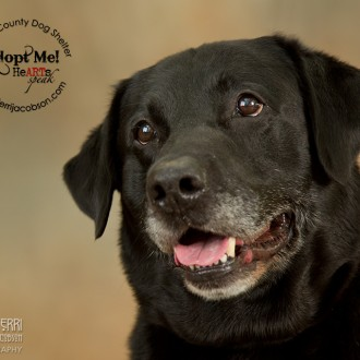 Black lab available for adoption at Marion County Dog Shelter