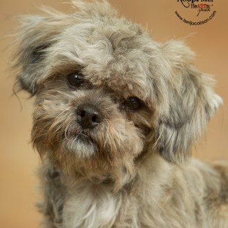 Shih Tzu mix available for adoption at Marion County Dog Shelter