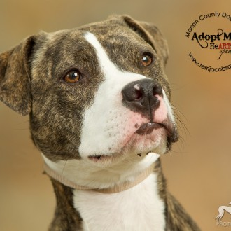 An American pit tie mix available for adoption