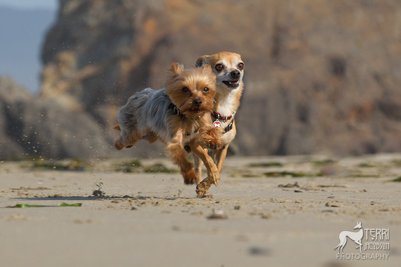 Yorkie and chihuahua race on the beach