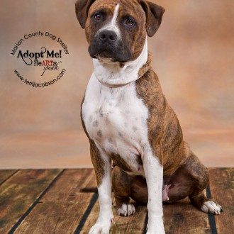 Adopt a pit bull, Marion County Dog Shelter
