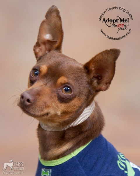 Min pinn available for adoption at Marion County Dog Shelter