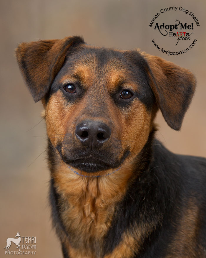 Adopt a shepard mix from Marion County Dog Shelter