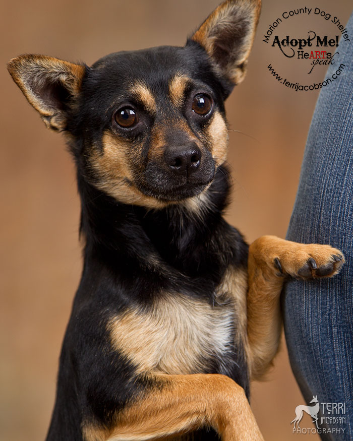 Chihuahua for adoption at Marion county Dog Shelter