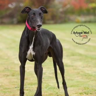 Greyhound for adoption - Oregon Greyhound Adoption