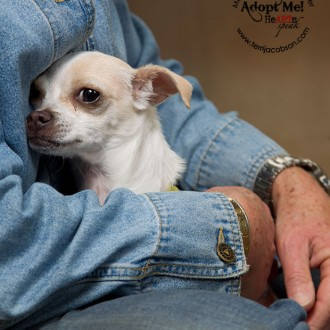 Adopt a chihuahua at the Marion County Dog Shelter