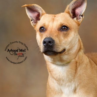 Shepherd mix available for adoption at the Marion County Dog Shelter