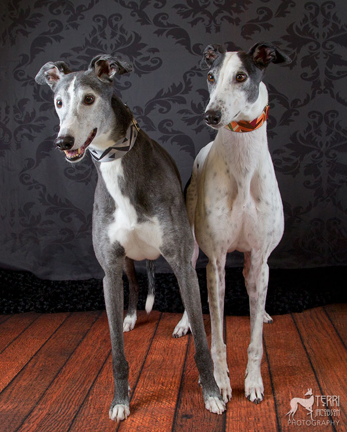 Black and white, white and black greyhounds