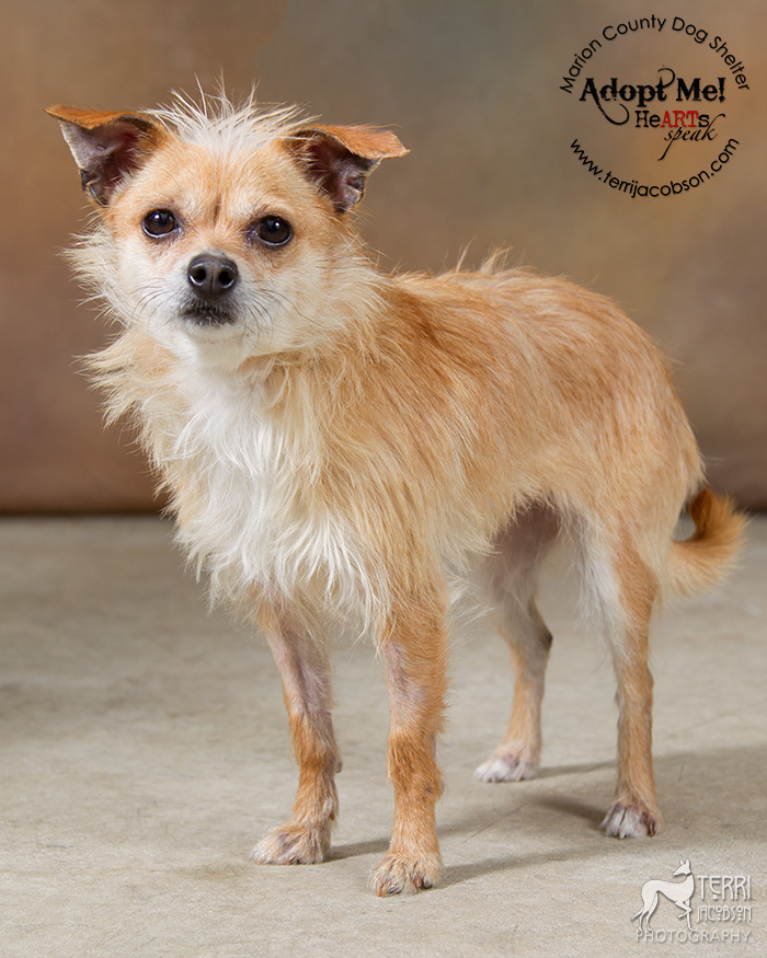 Terrier mix for adoption at the Marion County Dog Shelter