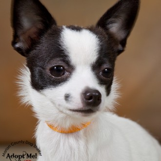 Chihuahua available for adoption at the Marion County Dog Shelter