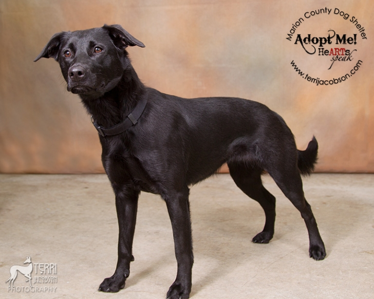 Jade, lab mix available for adoption at the Marion County Dog Shelter
