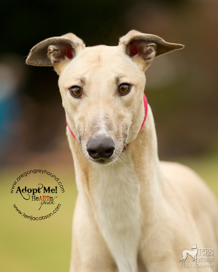 Greyhound available for adoption with Oregon Greyhound Adoption