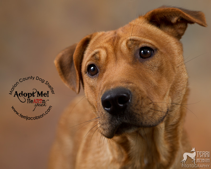 Lab mix available for adoption at the Marion County Dog Shelter
