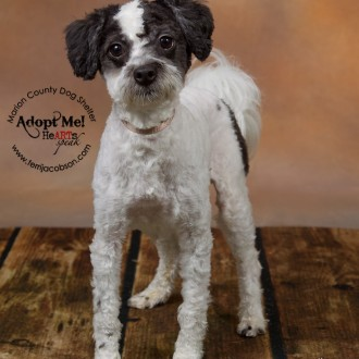 Adopt poodle mix from Marion County Dog Shelter