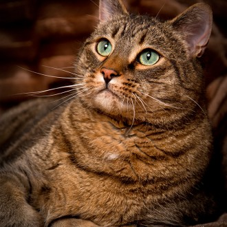 Domestic cat with green eyes
