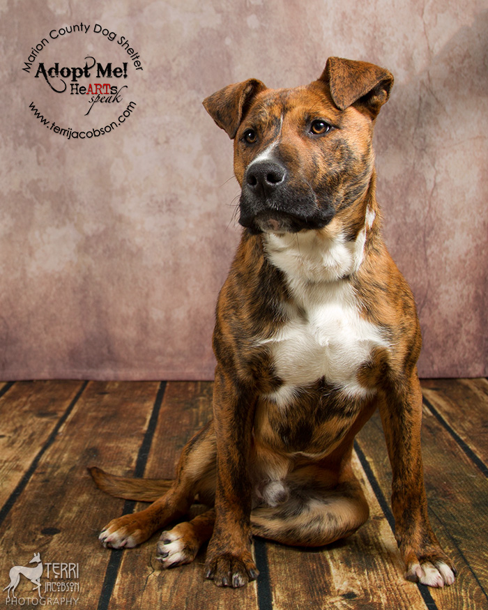 Brindle pittie available for adoption at the Marion County Dog Shelter