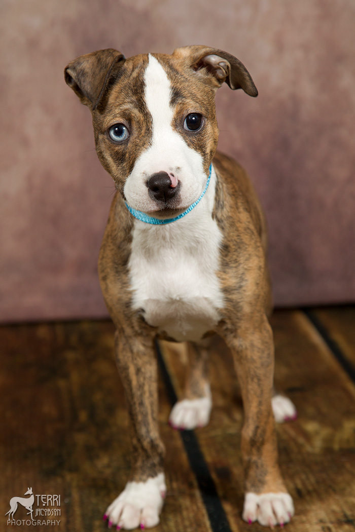 Brindle pittie puppy in foster care for Marion County Dog Shelter