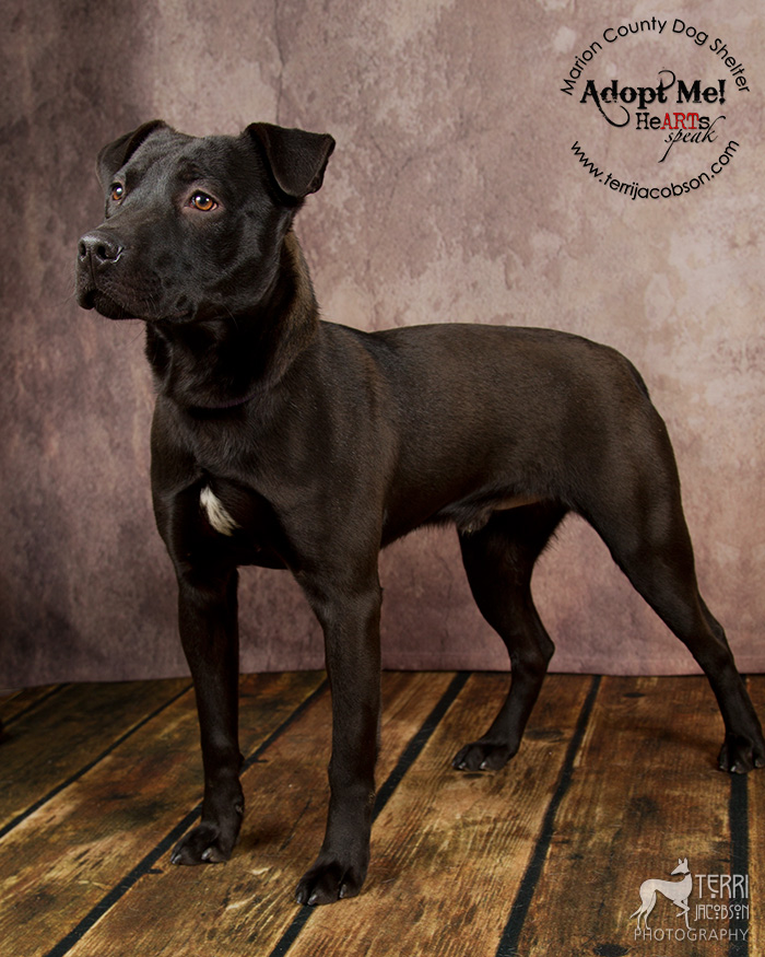 Black pit bull available for adoption at the Marion County Dog Shelter