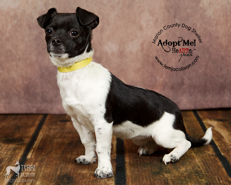 white and black chihuahua mix available for adoption at the Marion County Dog Shelter