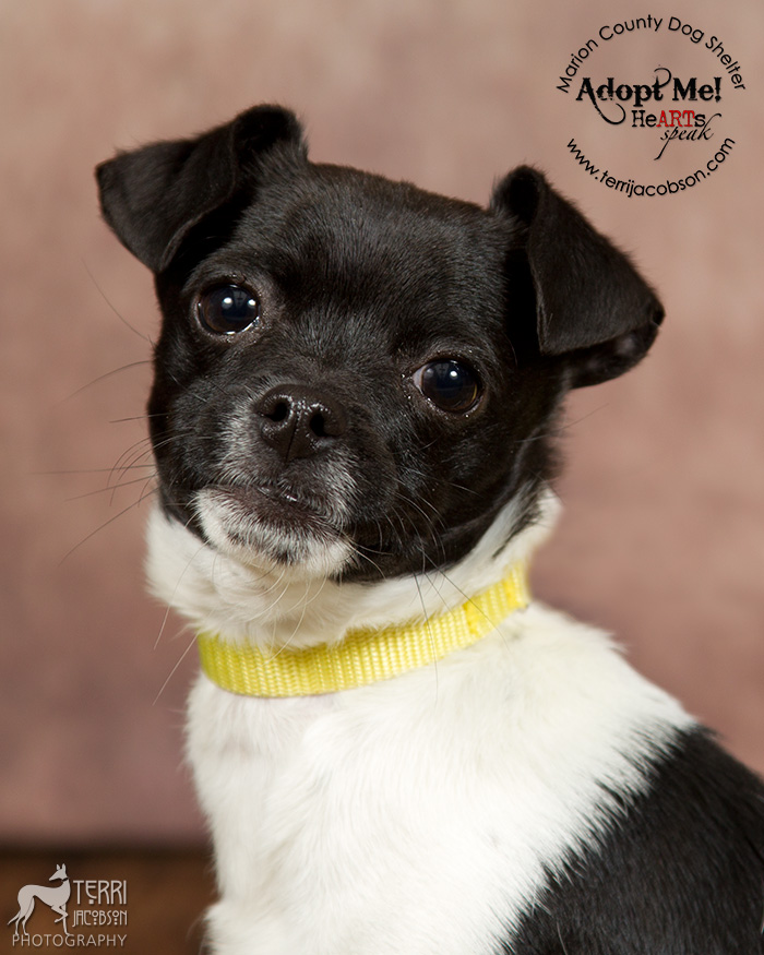 White and black chihuahua mix available for adoption
