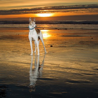 White and brindle greyhound at sunset