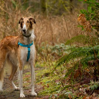 Borzoi hiking in the woods