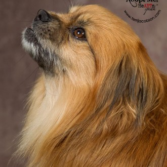 Pekingese mix available for adoption at the Marion County Dog Shelter