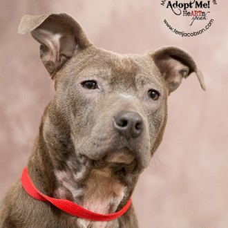 Blue pittie available for adoption at the Marion County Dog Shelter