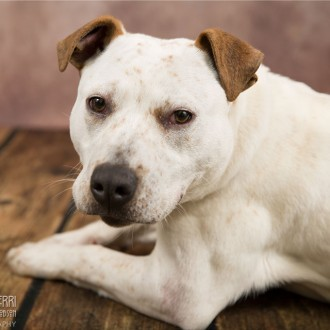 White and red pitbull available for adoption at Marion County Dog Shelter