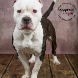 White and black pit bull available for adoption at the Marion County Dog Shelter