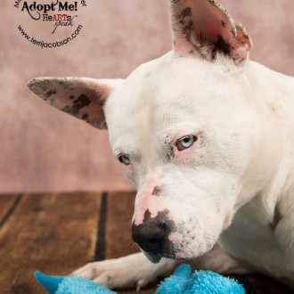 White pit bull mix available for adoption at the Marion County Dog Shelter