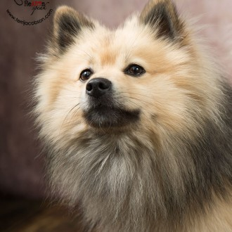 pomeranian mix photo
