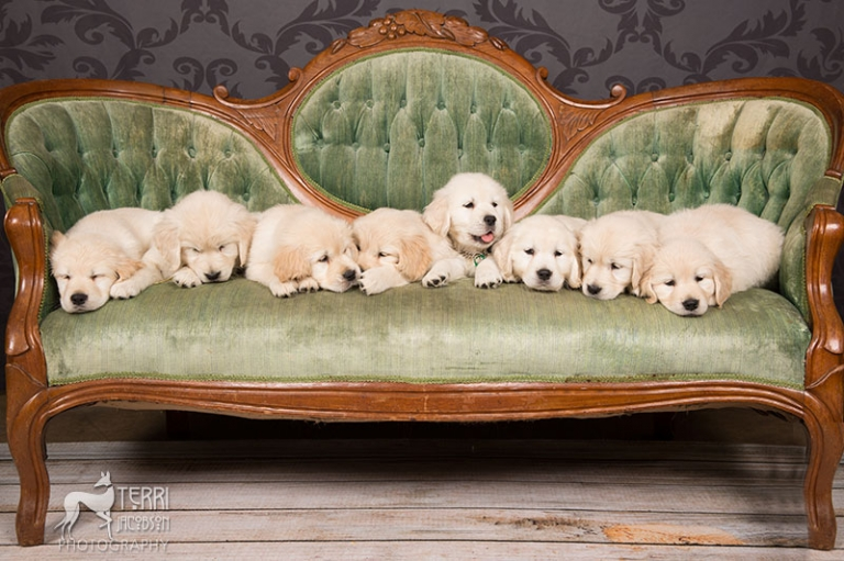 Golden retriever puppies photo