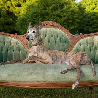 Red brindle greyhound on settee photo
