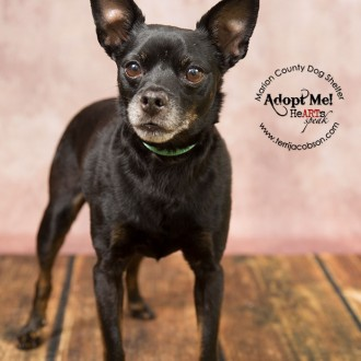 Senior black and tan miniature pinscher photo