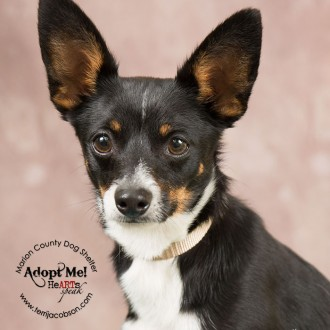 Rat terrier mix photo