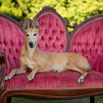 Red fawn greyhound photo