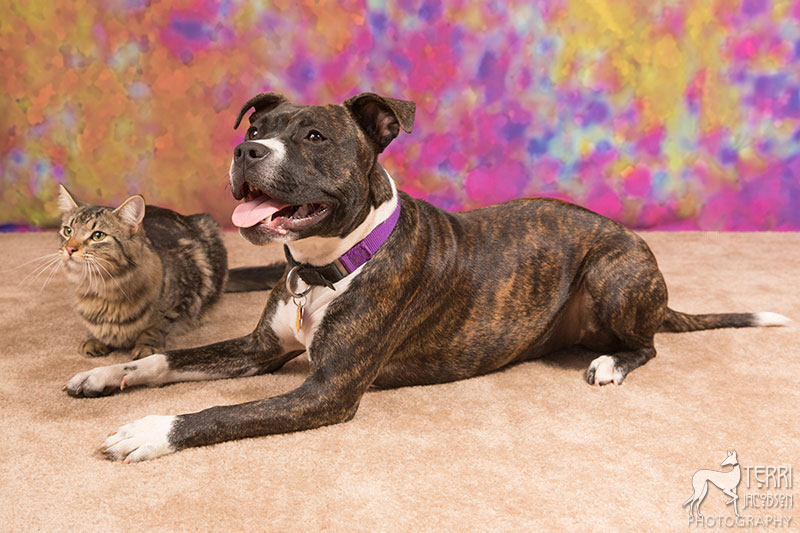 Maine coon cat and pit bull terrier photo