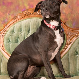 Black pit bull terrier photo