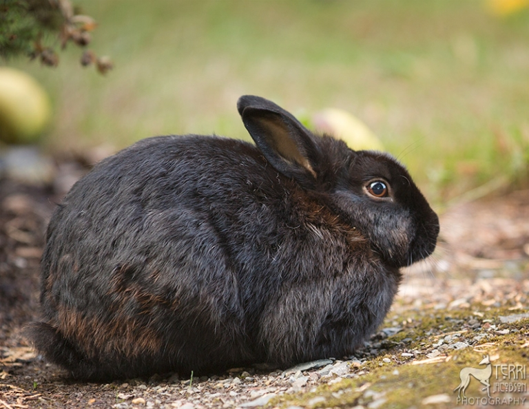 Black rabbit photo