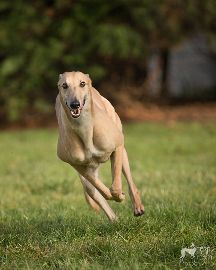 Fawn greyhound running photo