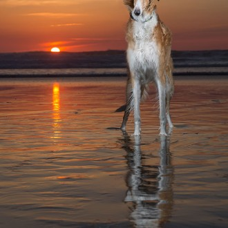 Red borzoi at sunset