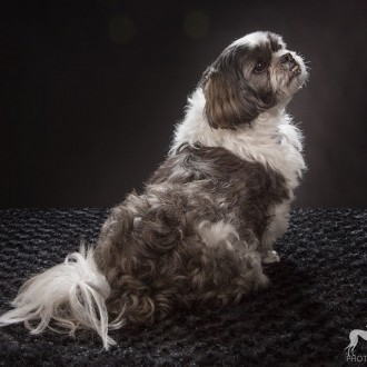 white and black llasa apso