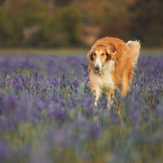 borzoi running in a field of flowers
