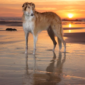 borzoi at sunset