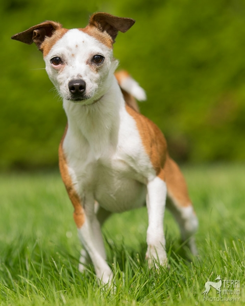 red and white chihuahua mix