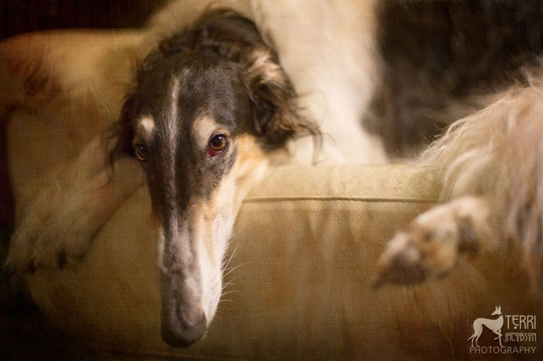 Borzoi resting on a couch
