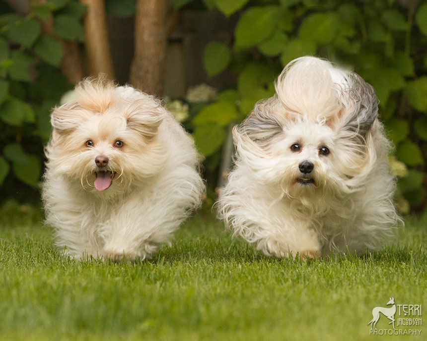 Pair of havanese