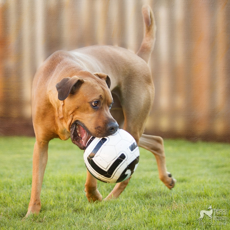 A dog and his soccer ball